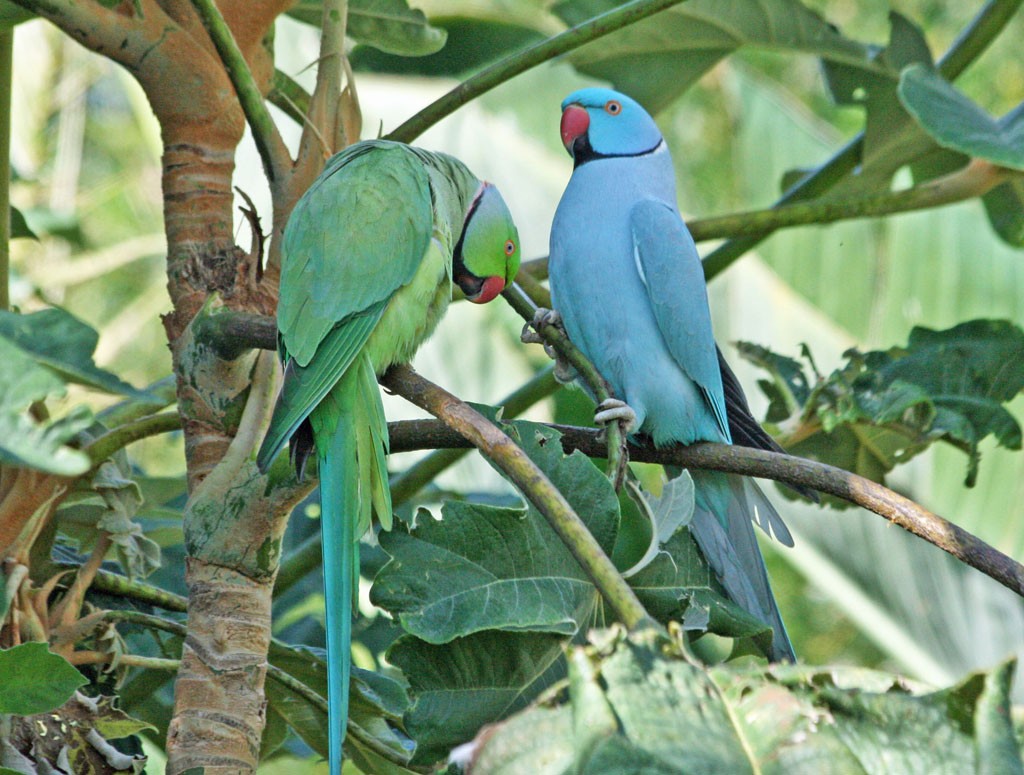 The Alexandrine Parrot